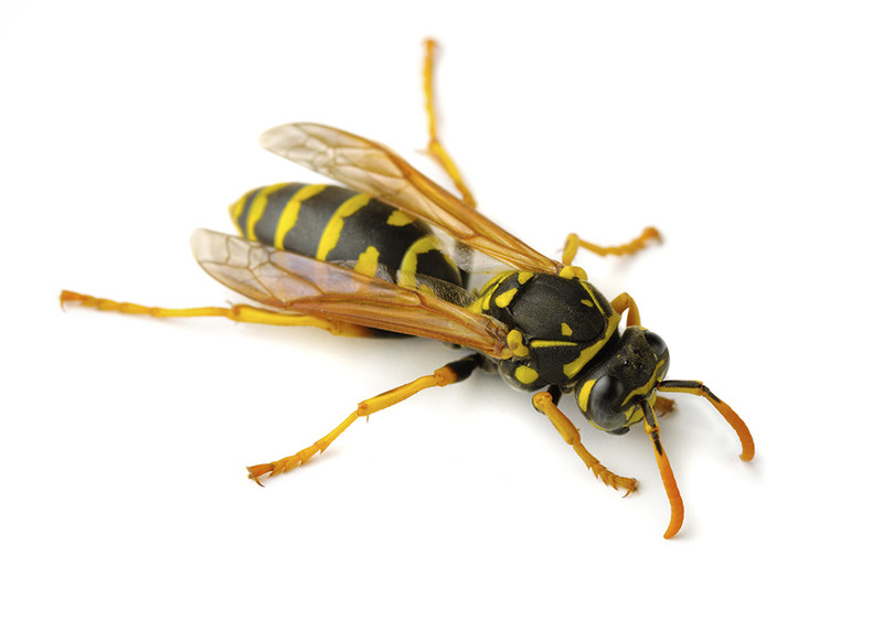 paper wasp sting reaction - photo #29